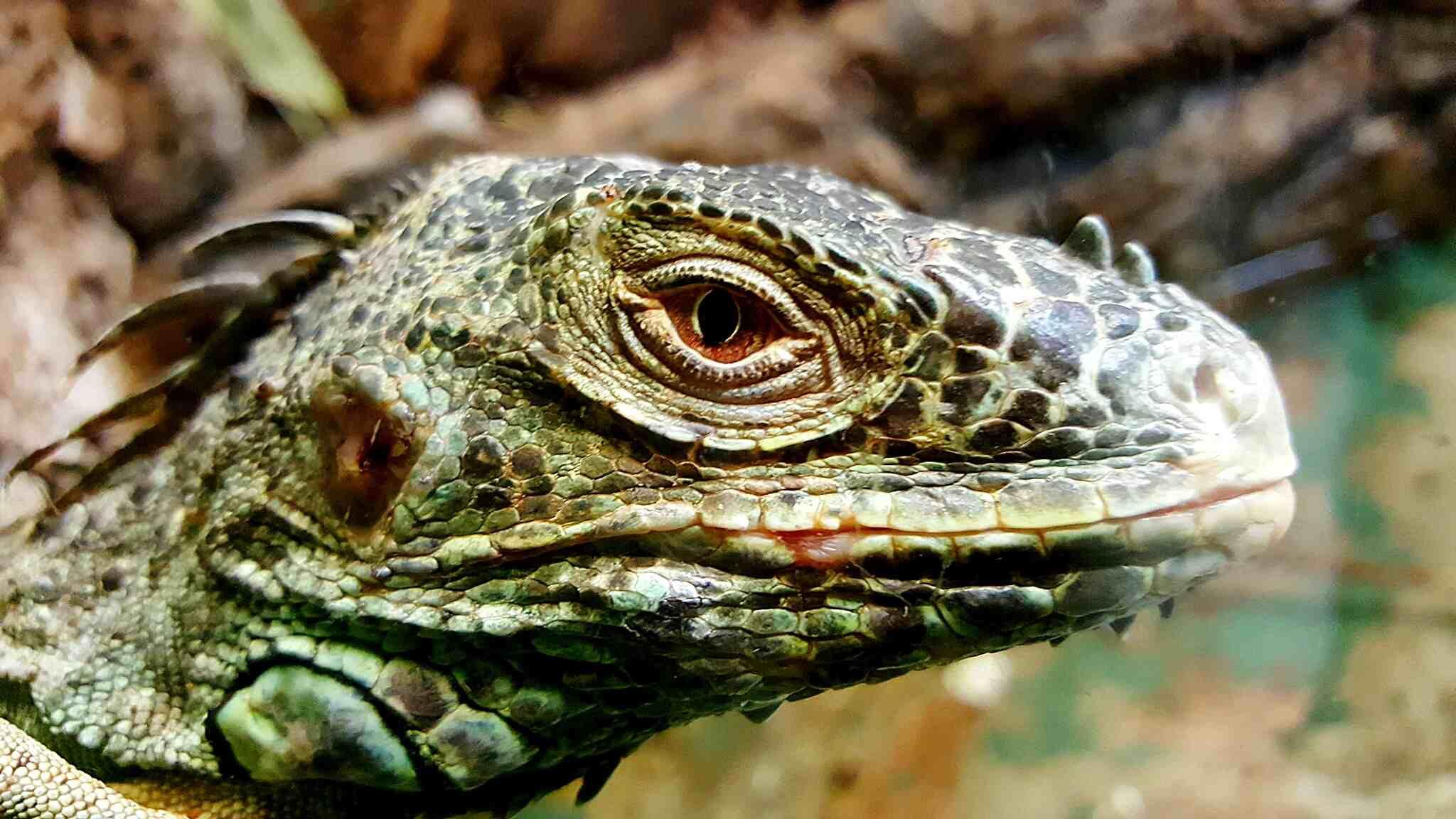 [Слика: close-up-of-lizard-720121751-5c299dc746e...efb8b6.jpg]