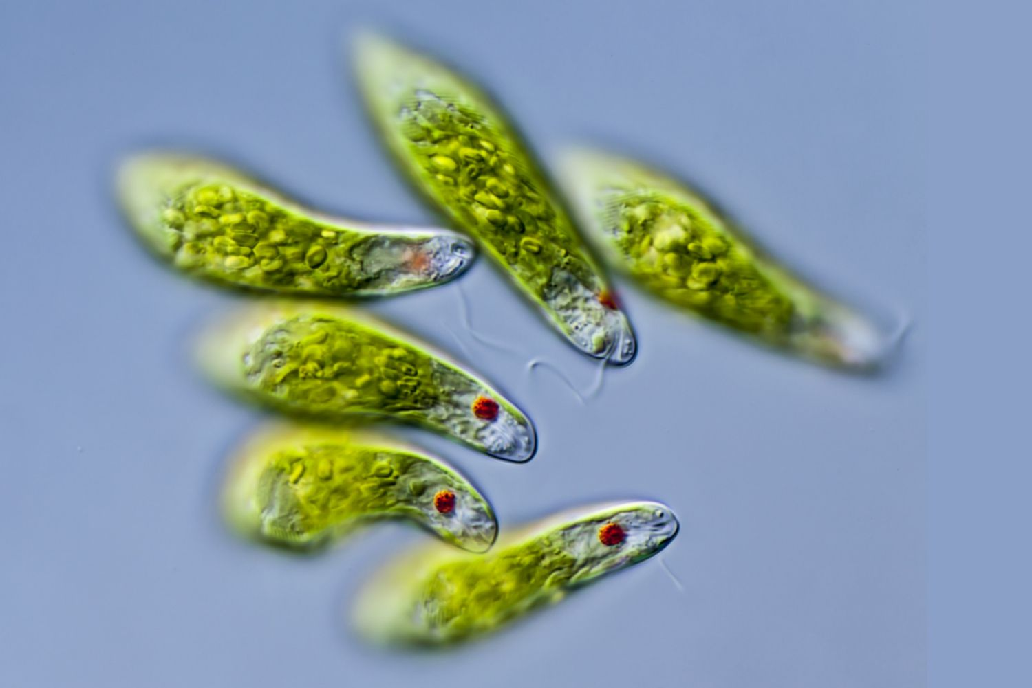 five euglena with red eyespots