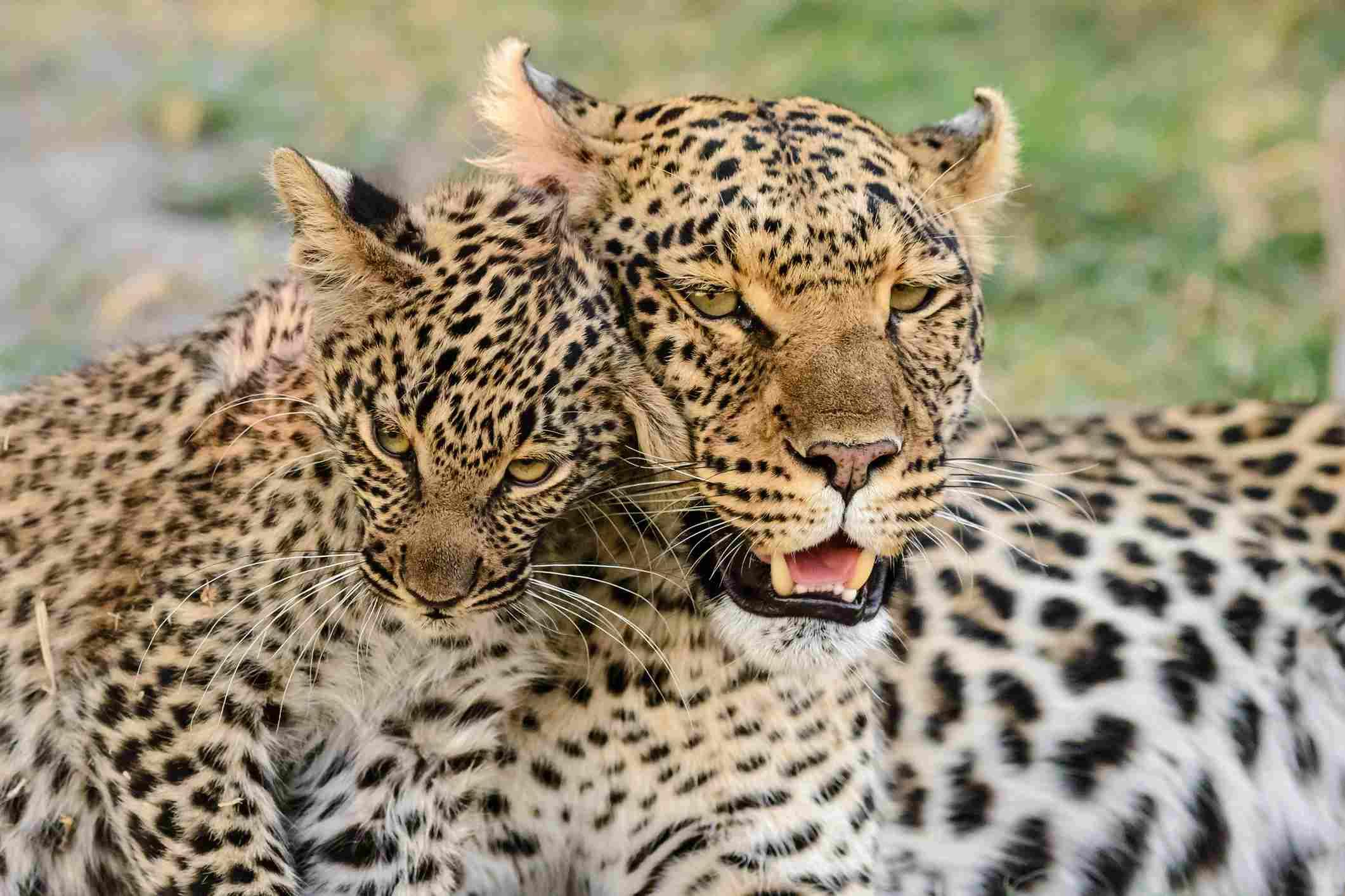 Portrait of leopard with leopard cub, Botswana