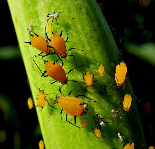 "Aphids have dual ""tailpipes,"" called cornicles, and pear-shaped bodies."