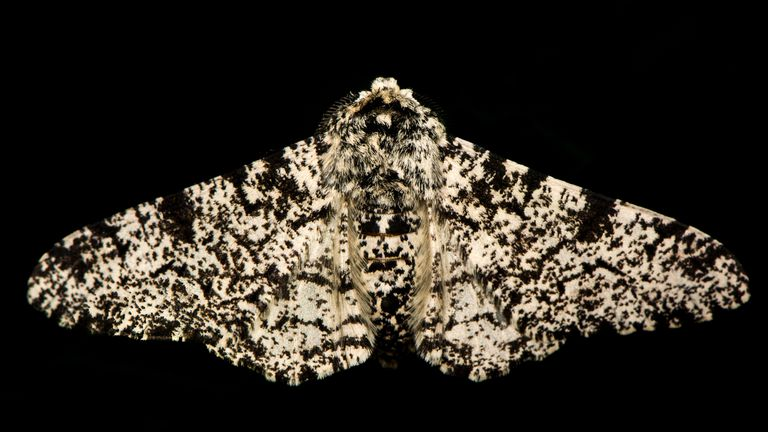 Peppered moth against a black background