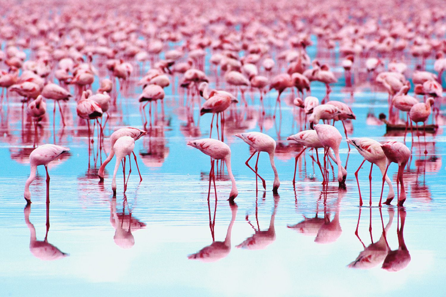 why are flamingos pink
