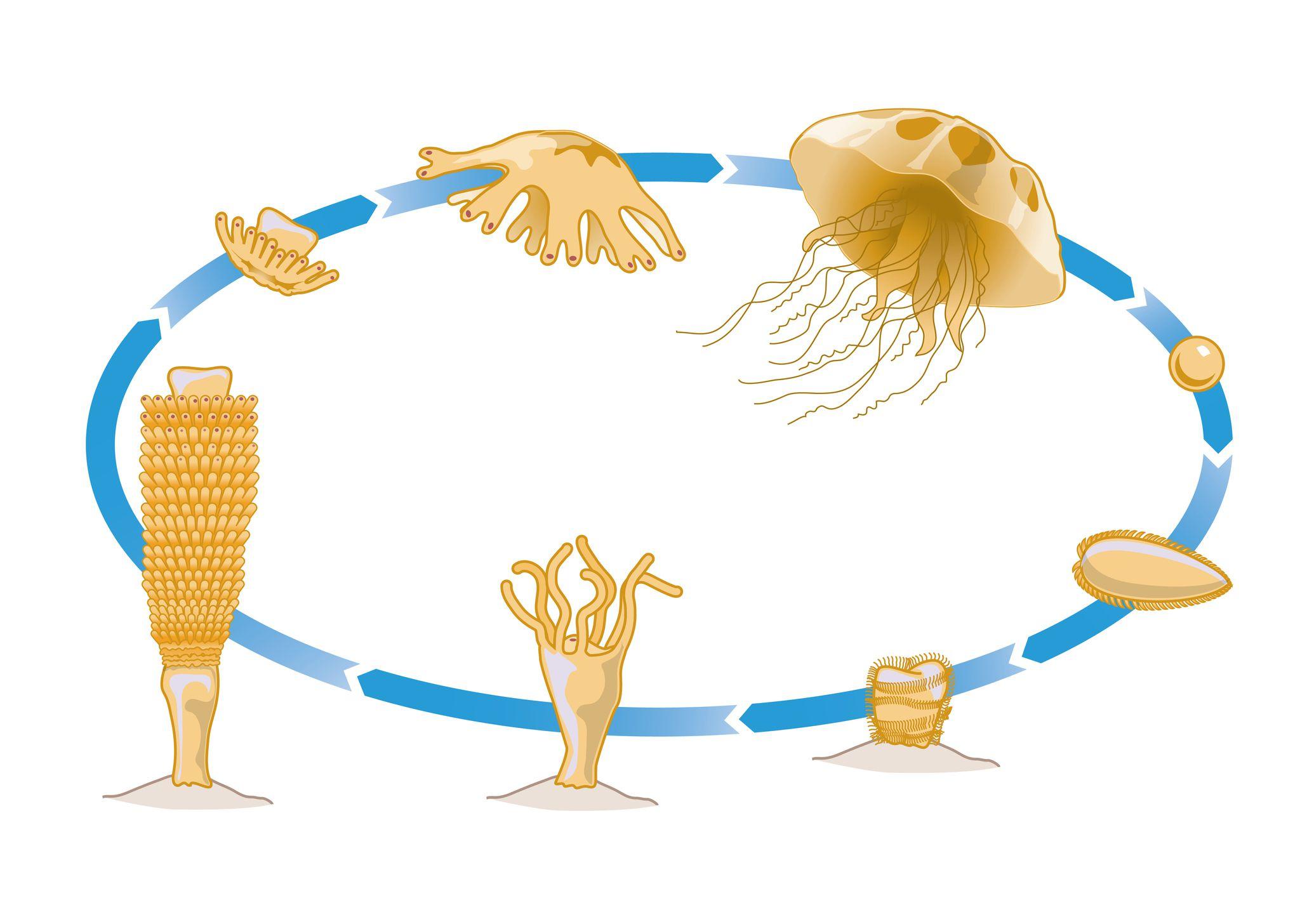 Jellyfish life cycle