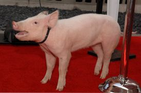 pig on a red carpet