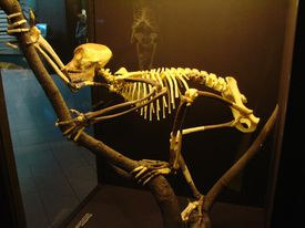 Proconsul skeleton reconstruction