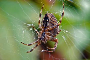 A garden spider in its web.