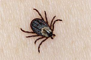 Wood Tick, Dermacentor variabilis, (aka Dog Tick, American Dog Tick, Hard Tick). Adult Female tick on human skin. Northern Ontario, Canada.