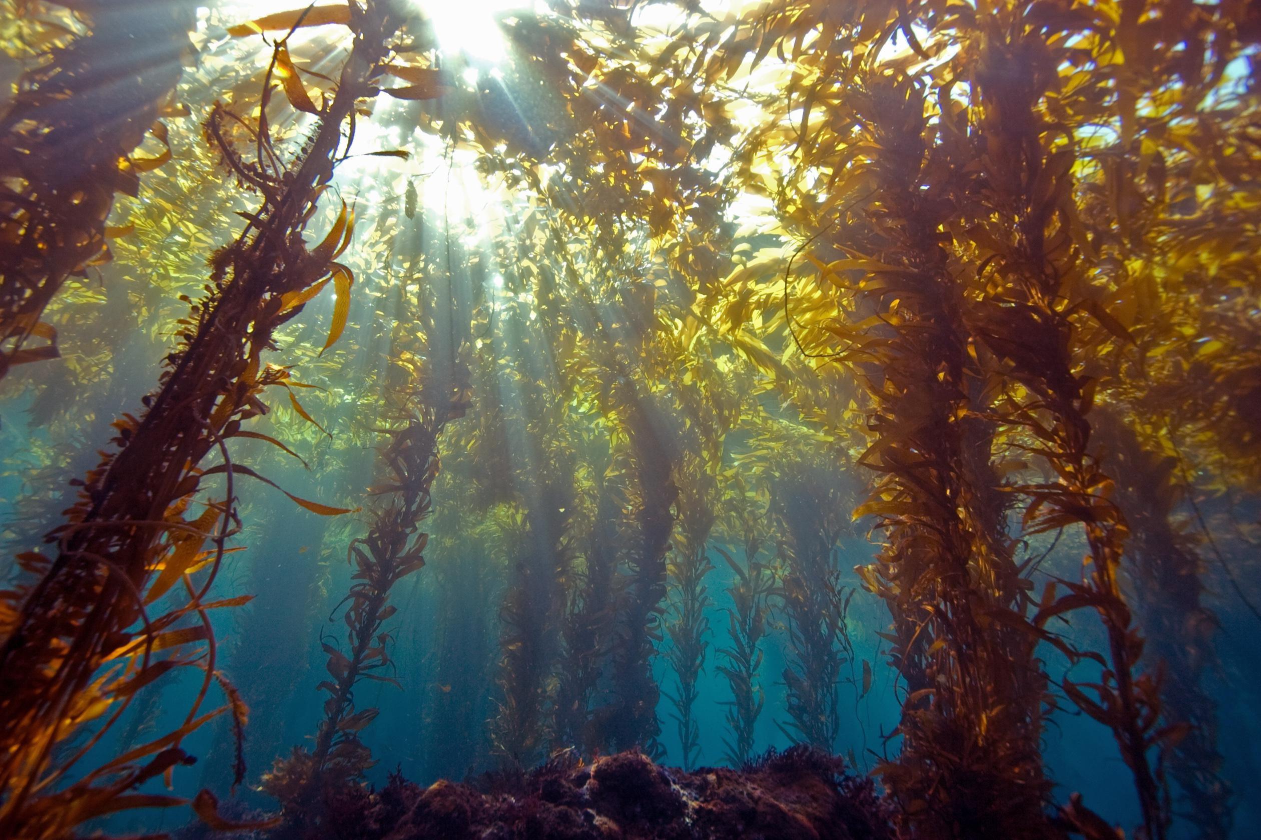 A tengeri moszat zsírt éget-e