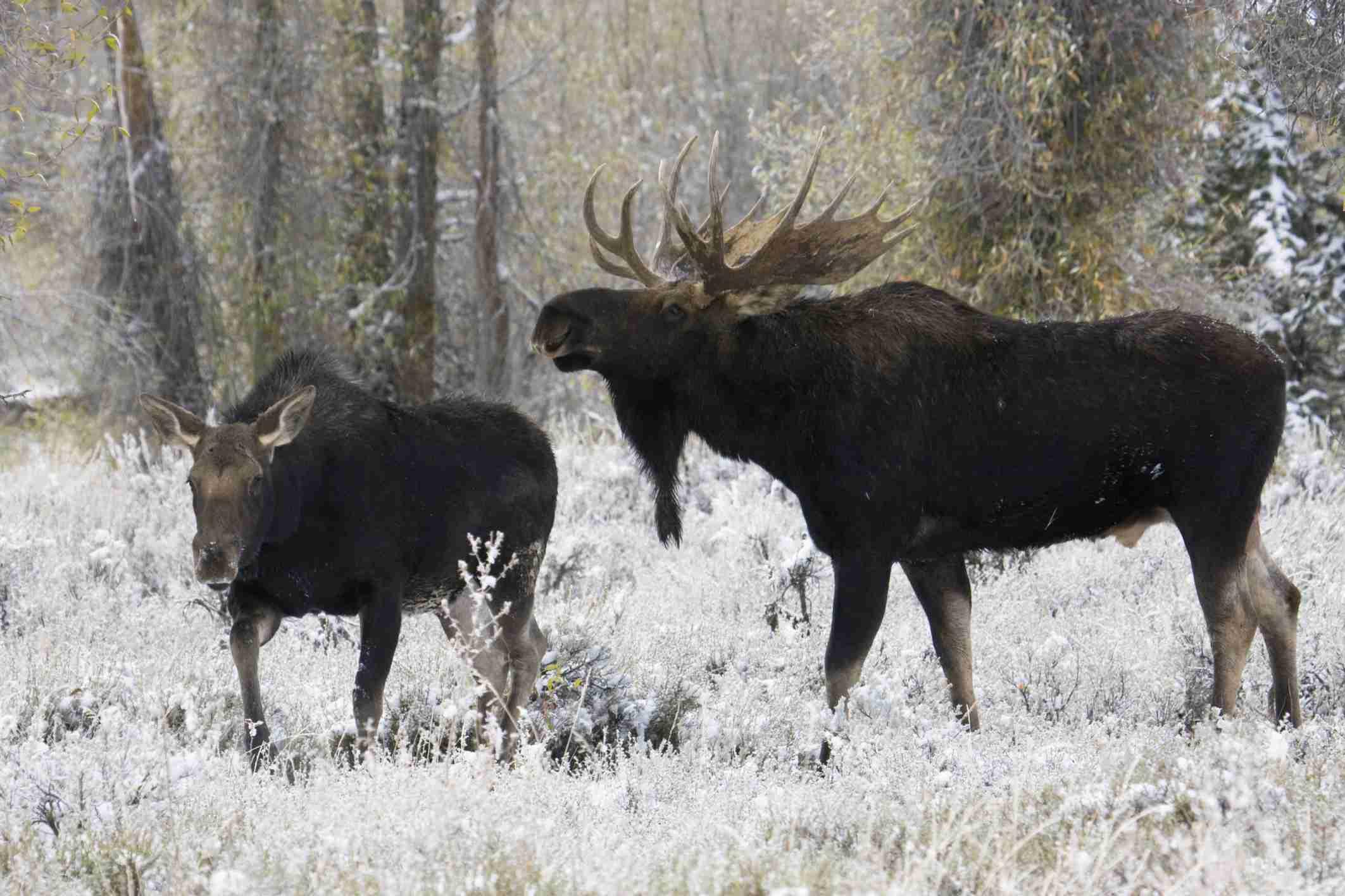 Shiras bull moose (Alces alces shirasi) courting cow moose in snowy Grand Teton National Park, Wyo.