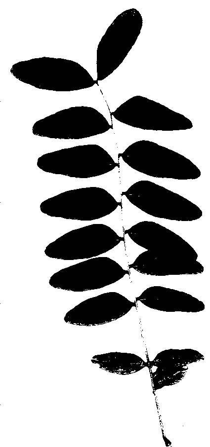 Honey Locust Leaf Silhouette