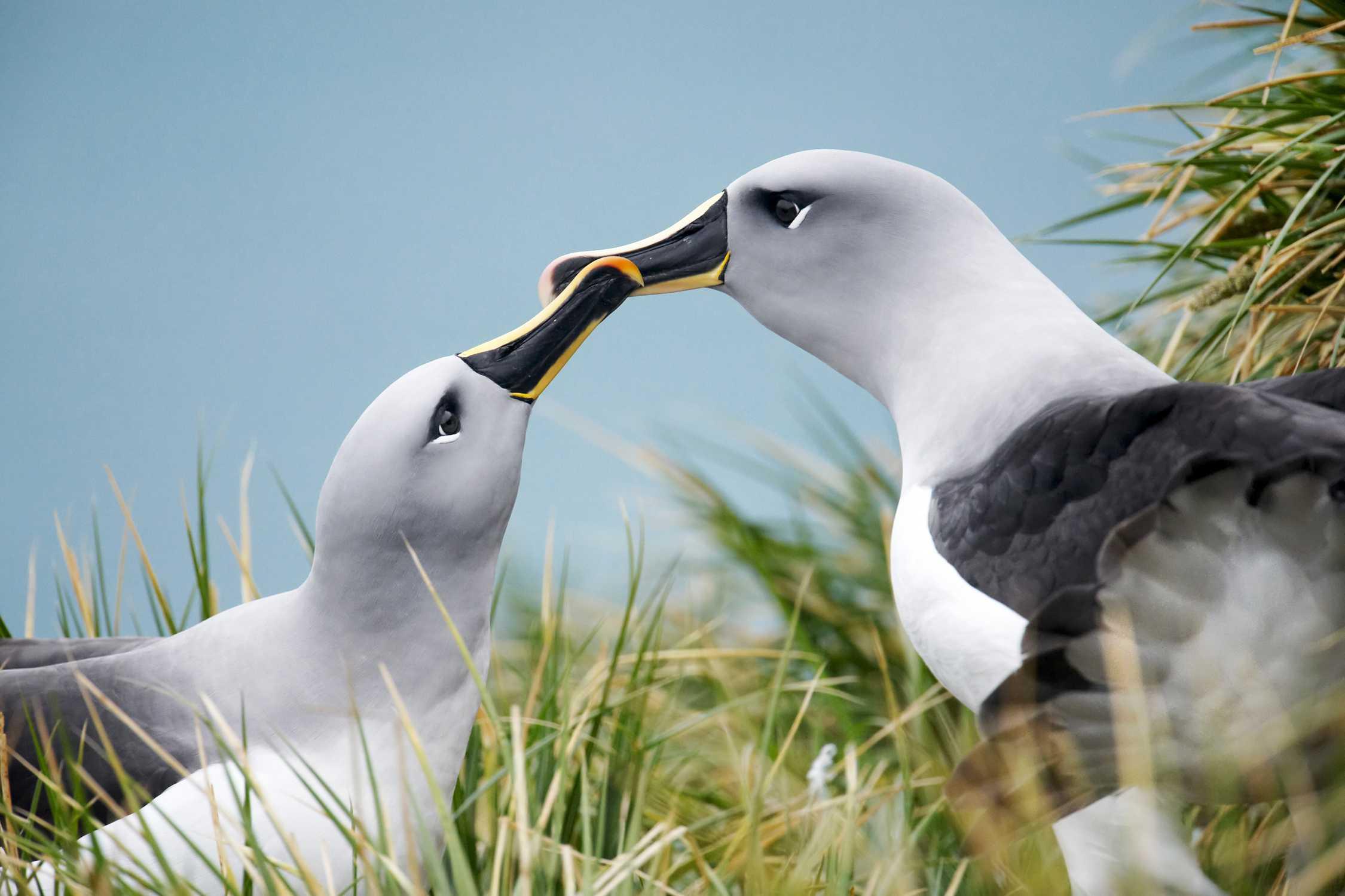 Two gray-headed albatross nuzzling beaks