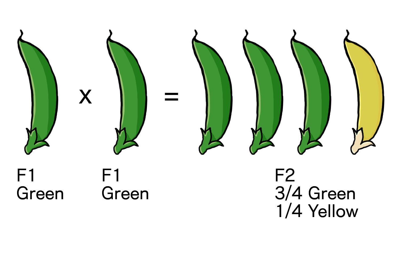 F1 Plant Self-Pollination
