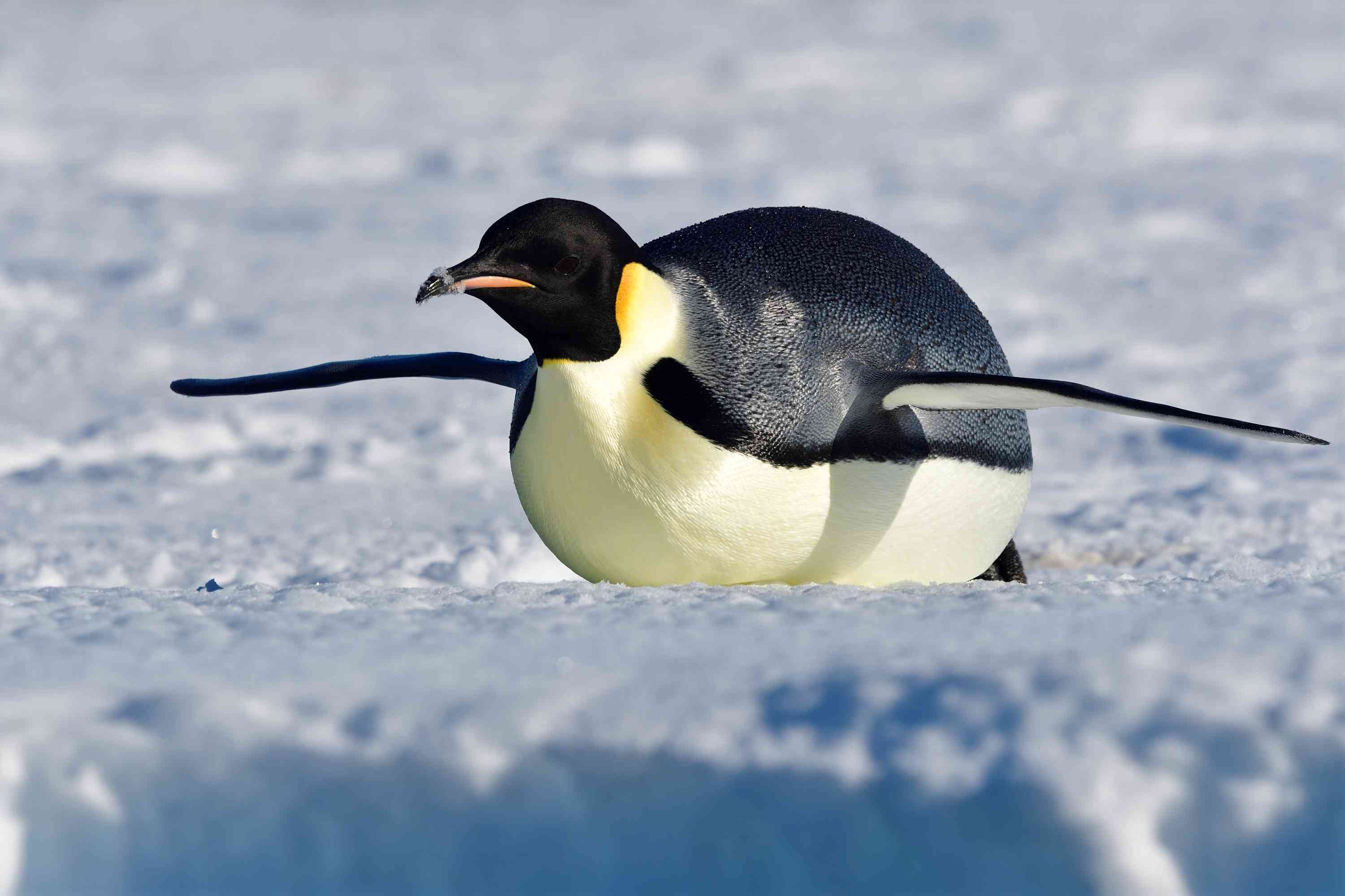 On land, emperor penguins either waddle or slide on their bellies.