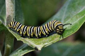 Monarch caterpillar eating milkweed