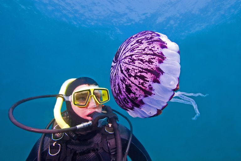 Diver and Purple-Striped Jellyfish