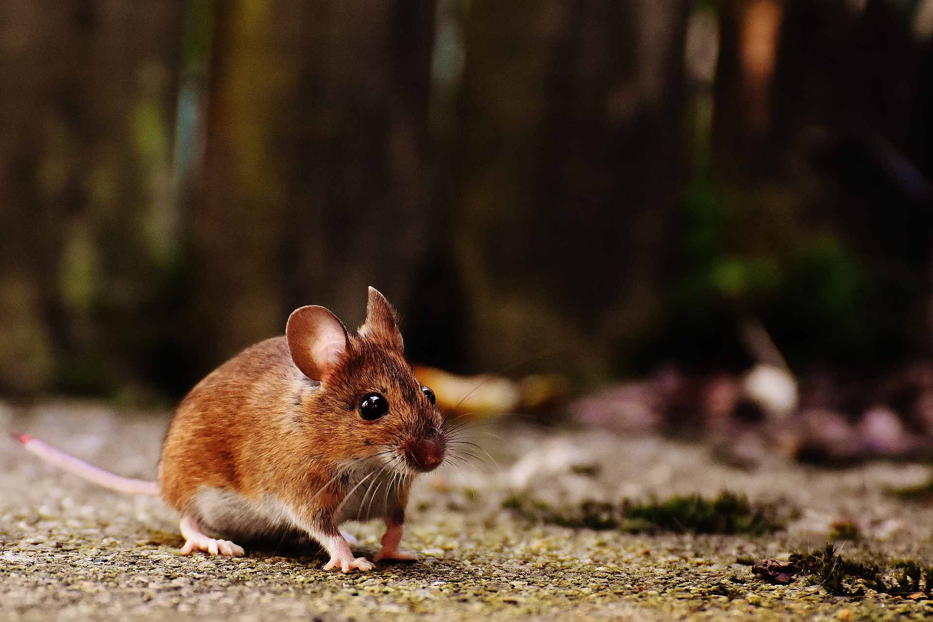 Mouse sitting on the ground.