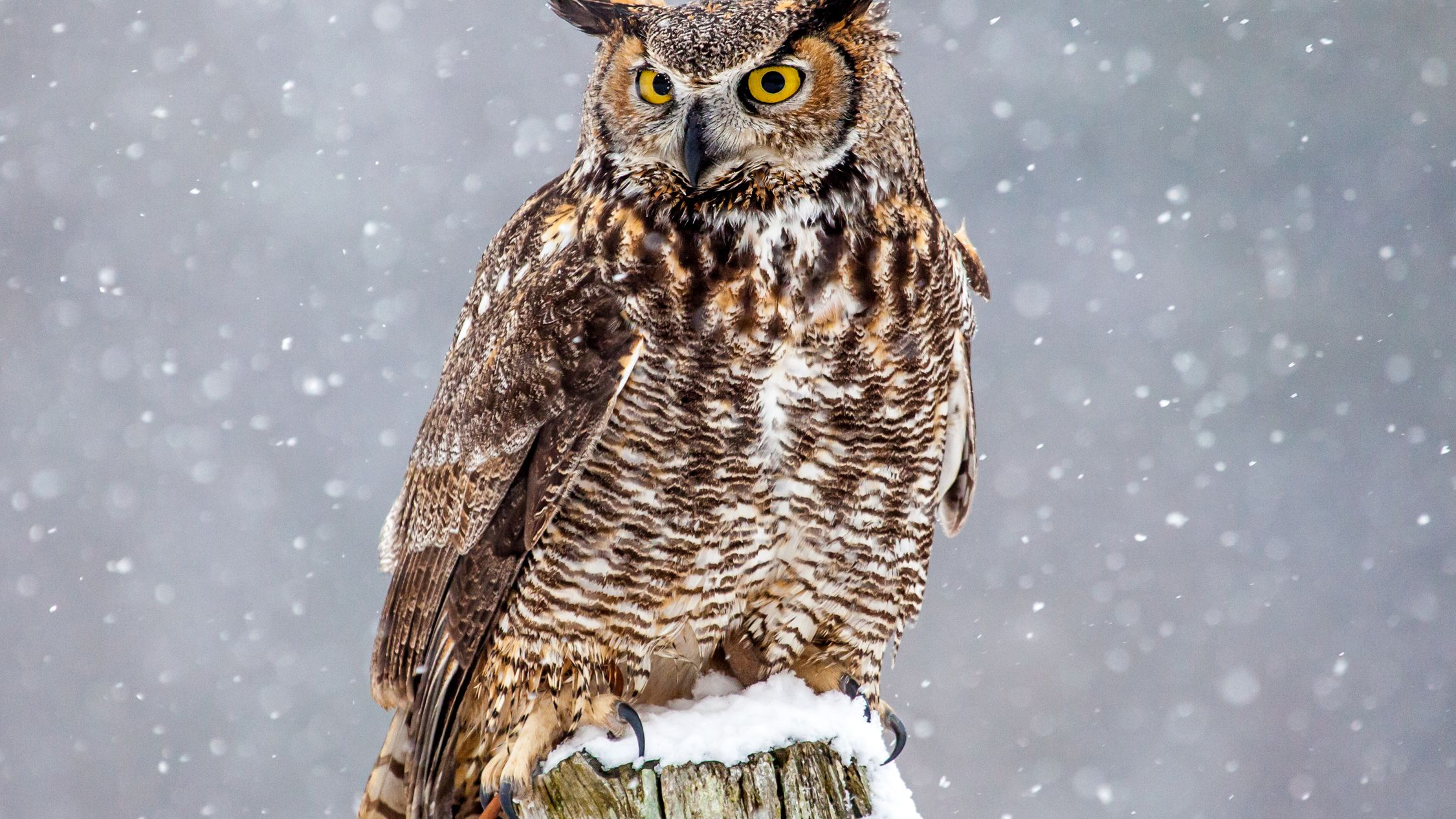 Great Horned Owls Facts