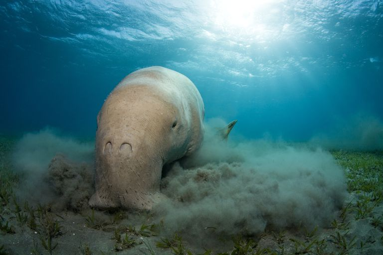 Dugong (Dugong dugon) feeding on seagrass, Northern Red Sea, Egypt