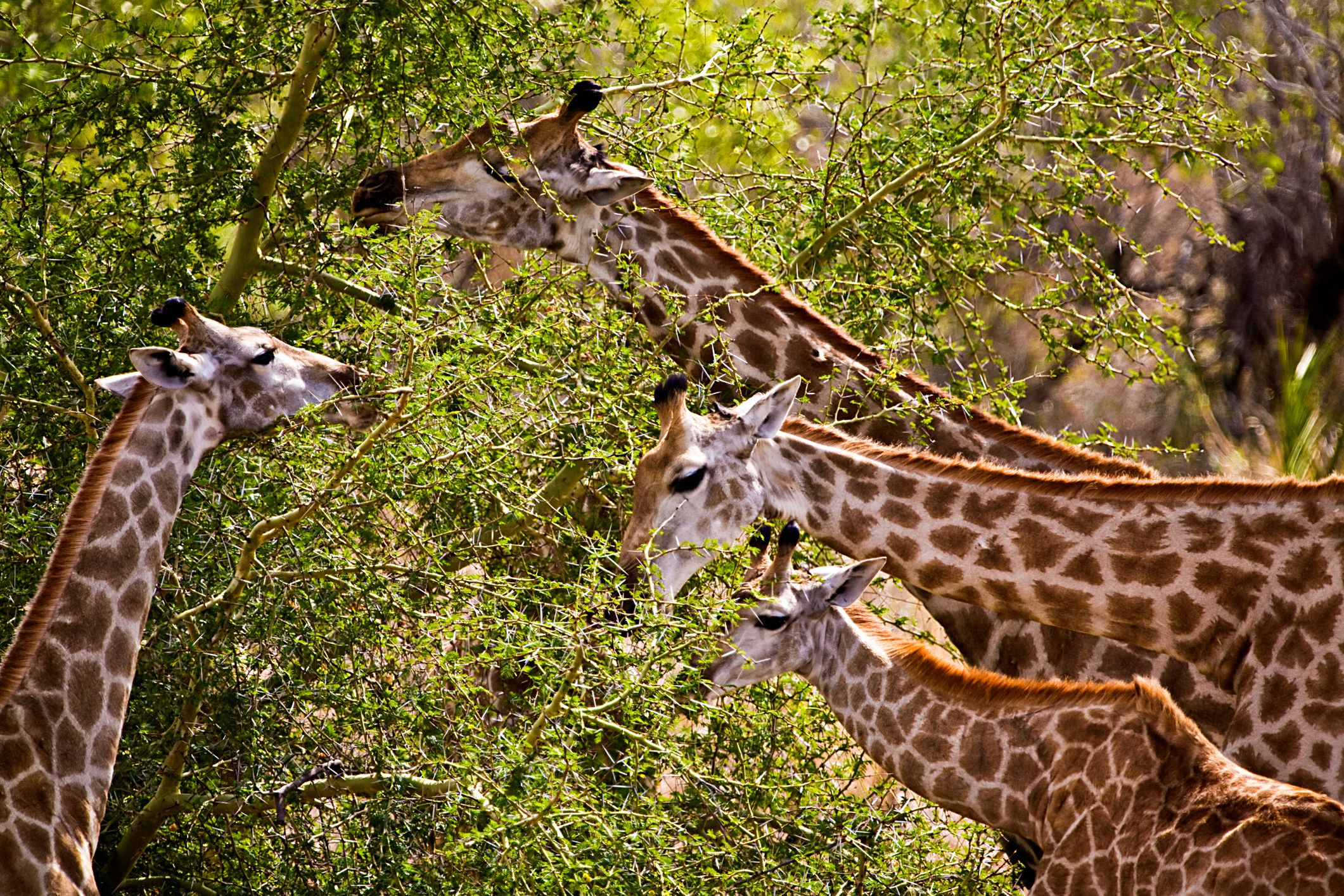 4 grazing giraffes