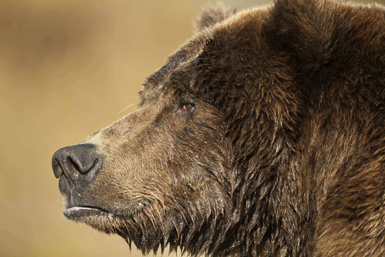 Adult Male Grizzly Bear (Ursus arctos)