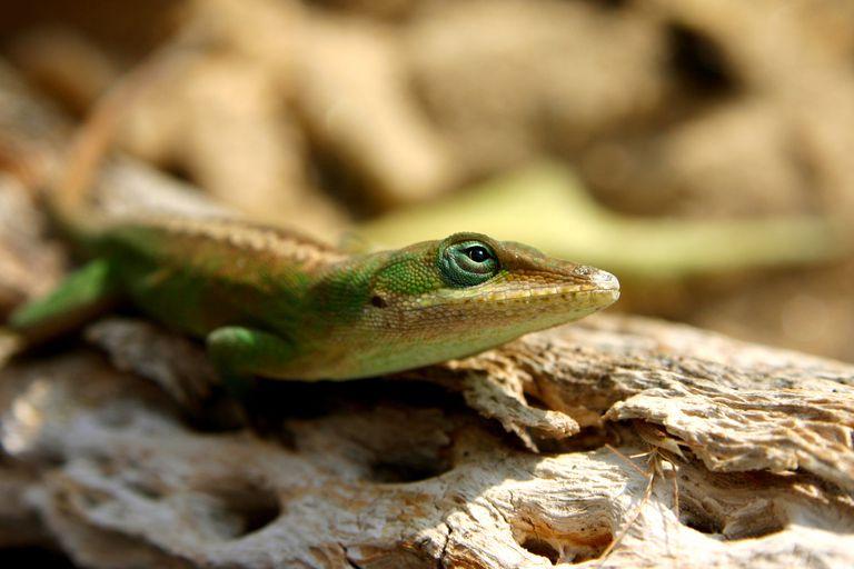 Anole - Polychrotidae