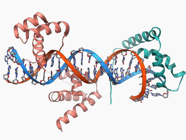Transcription factors bound to DNA