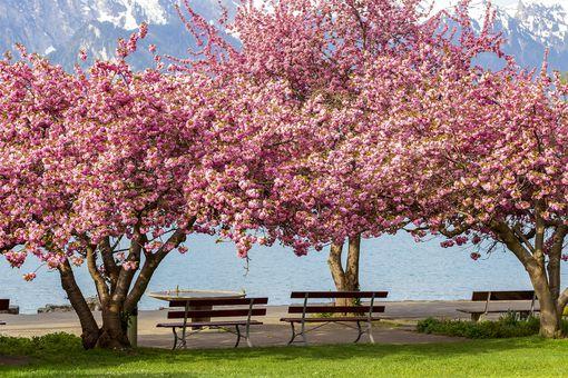 Blooming Pink Japanese Cherry or Sakura Flowers (Prunus Serrulata or Kanzan)