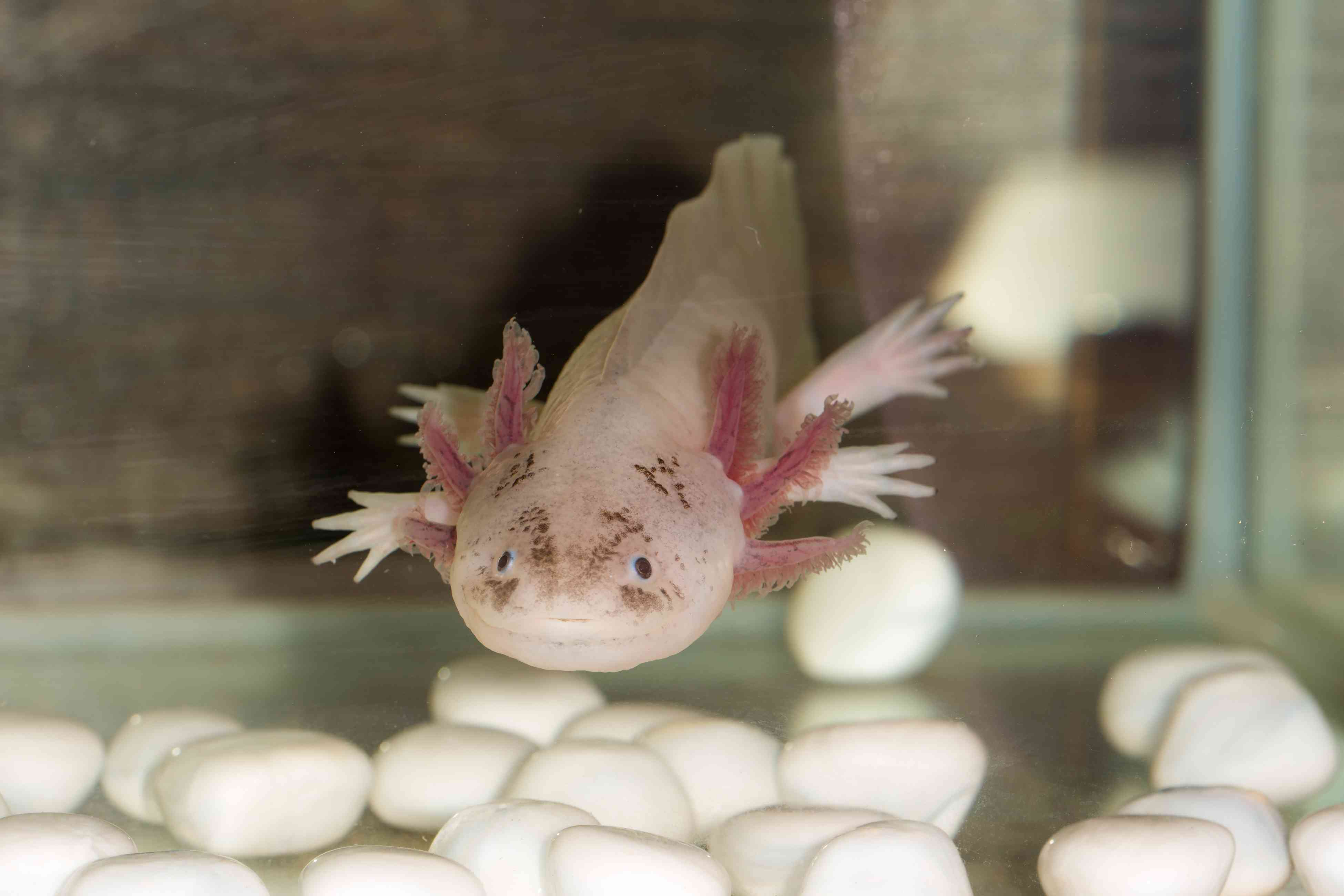 An axolotl will eat anything small enough to fit into its mouth.