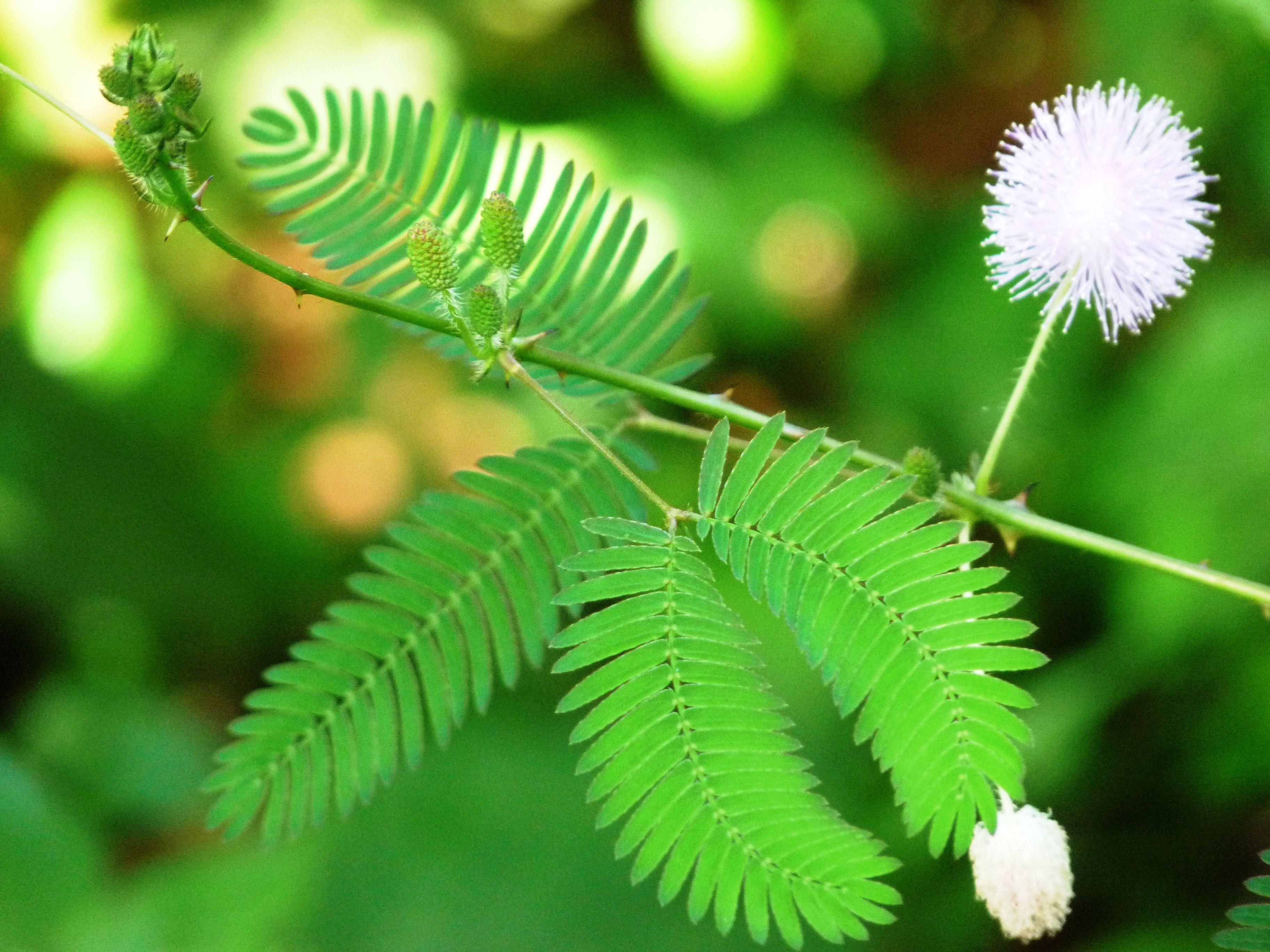 Acero Radici Invasive mimosa è un albero incantevole ma invasiva con molti problemi