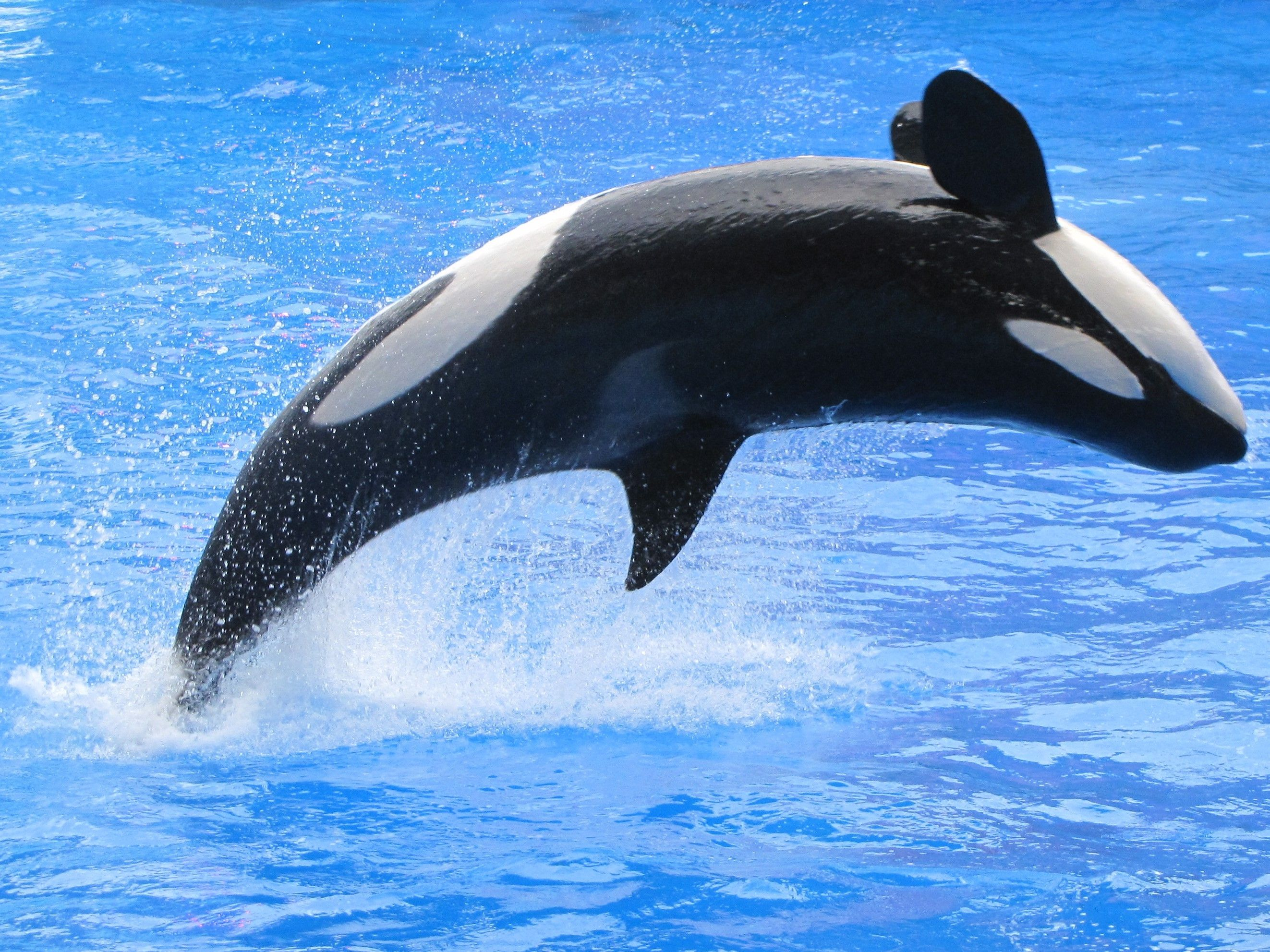 Killer whale jumping in a pool of beautiful blue water.