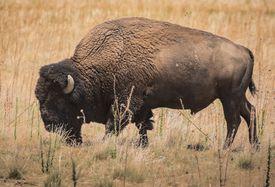Bison Grazing at Antelope Island, Utah
