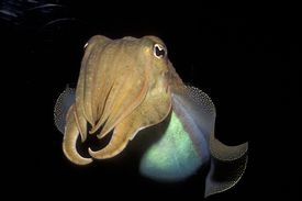 Common Cuttlefish with black background