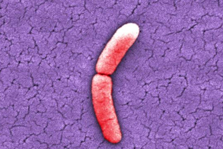 hur förökar sig bakterier