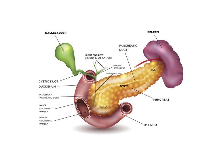 Spleen Anatomy and Function
