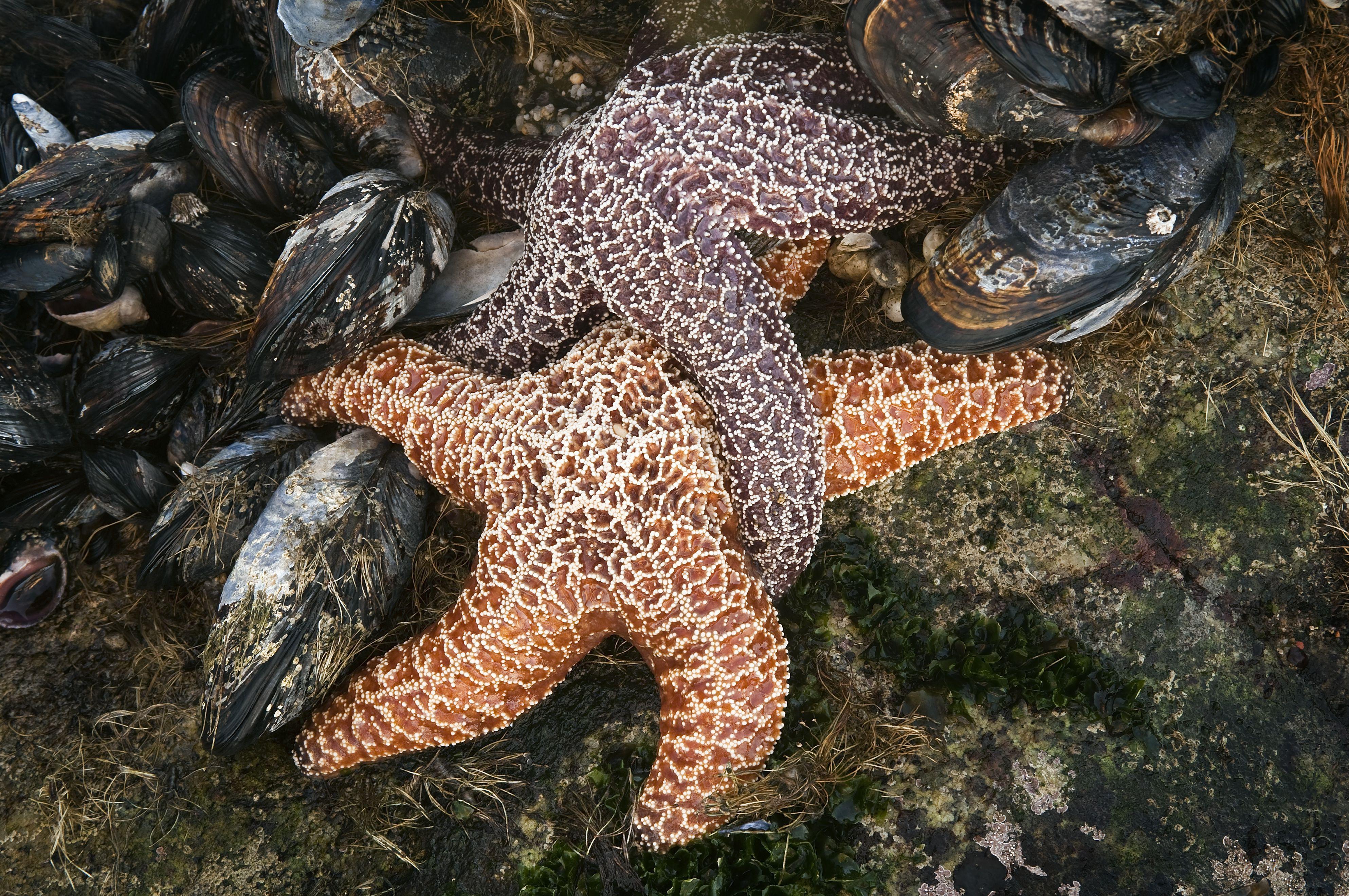 Mating starfish amongst mussels.