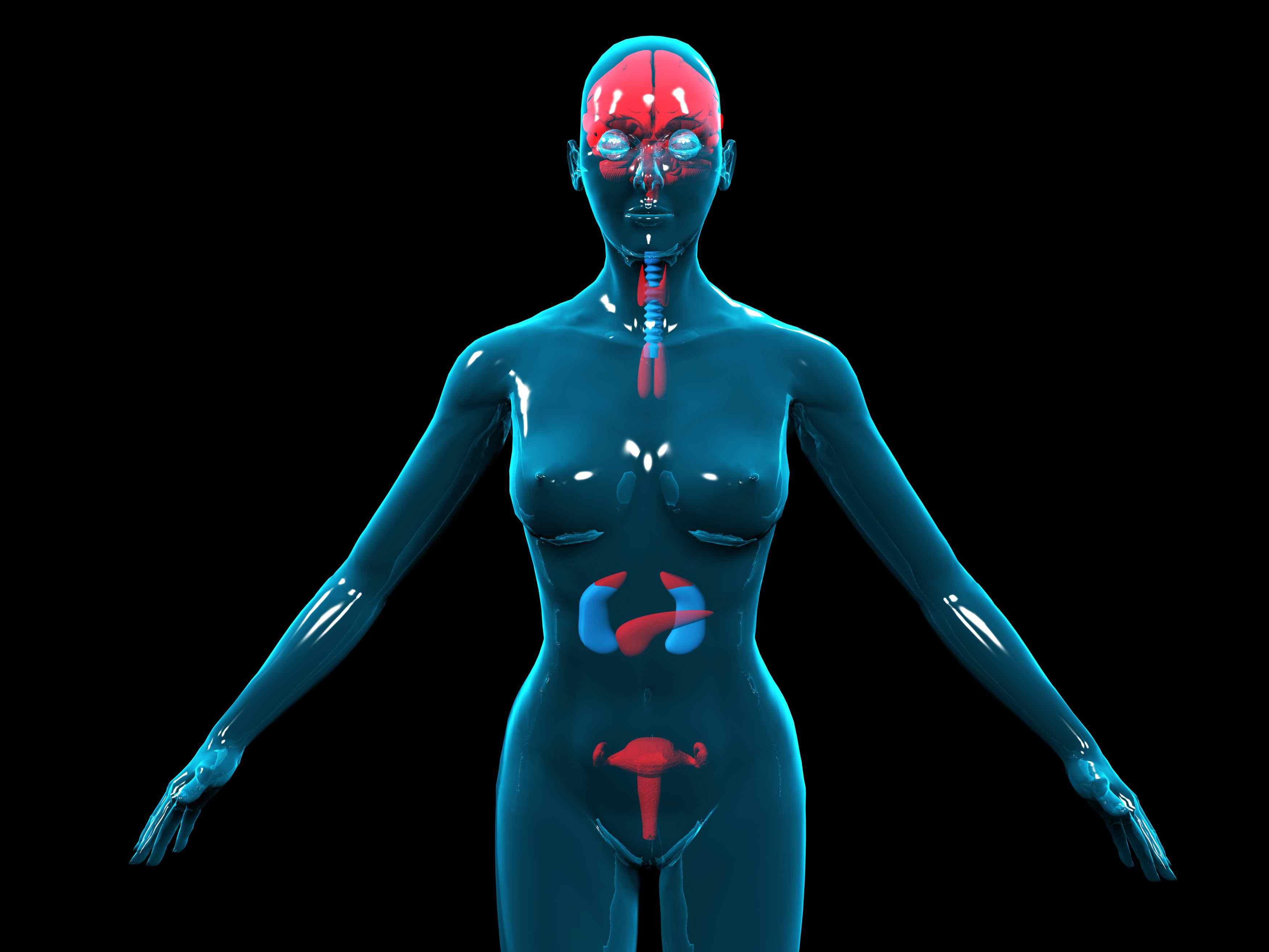 3D illustration of the female hormone/endocrine system