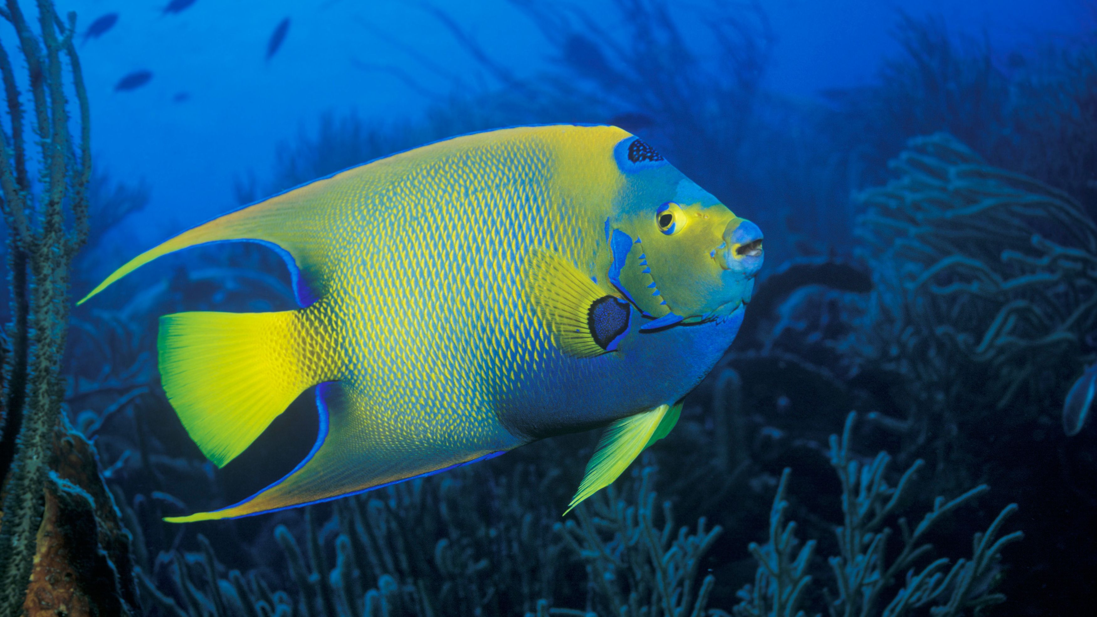 Queen Angelfish Facts