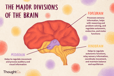 Location and Function of the Pons in the Human Brain