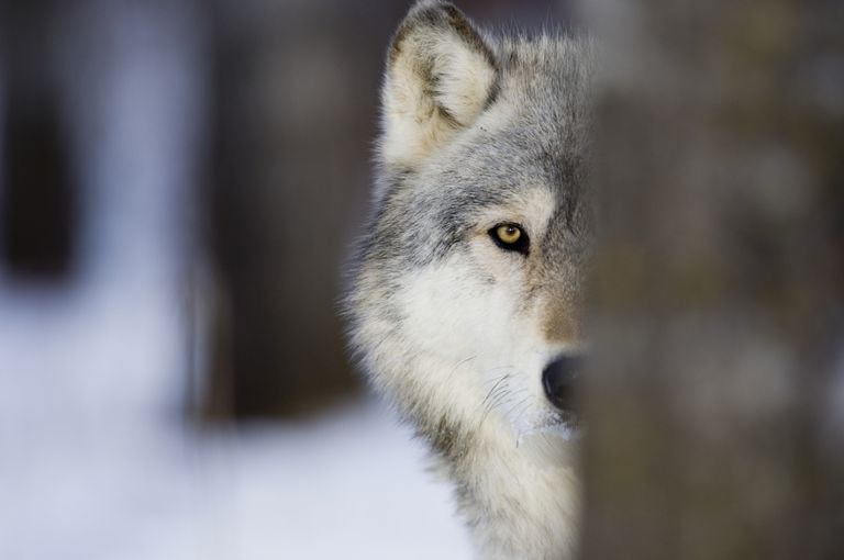 Spirit Wolf Visitations