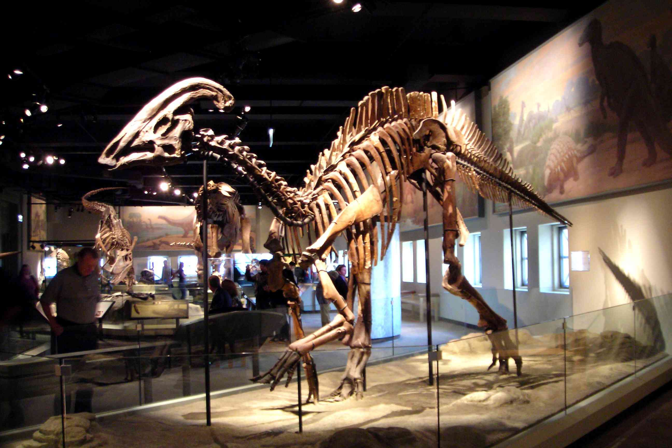 A fossilized parasaurolophus skeleton at the Field Museum in Chicago