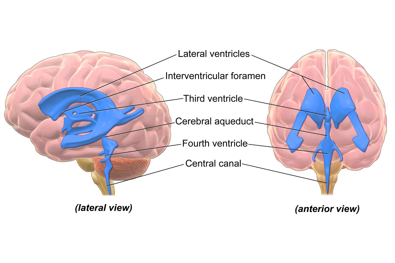Ventricular System Of The Brain