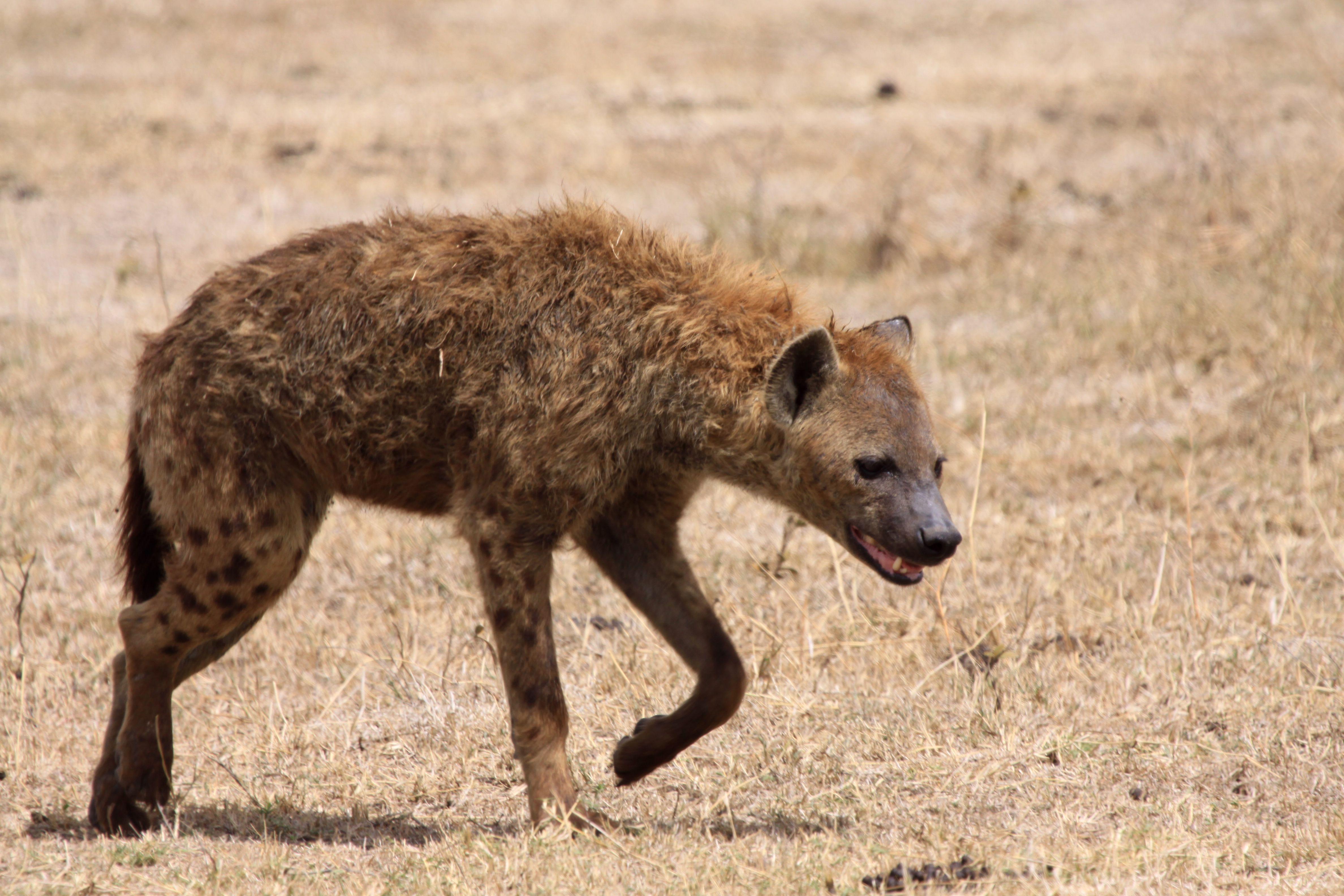A hyena walking