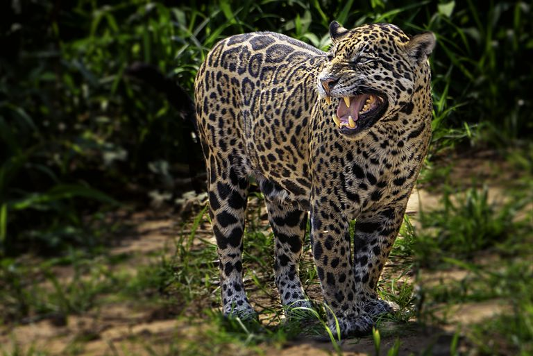 Painted jaguar in Brazil.