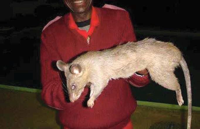 New York Rat