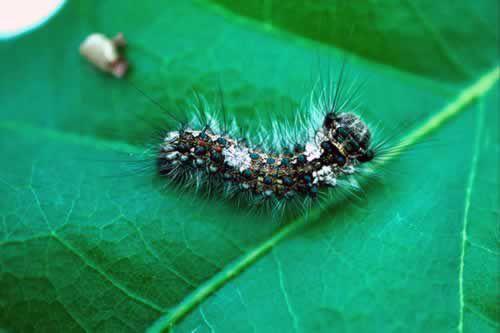 Lymantria monacha Nun Moth larva (Lymantria monacha)