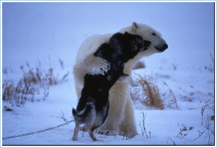 Polar bear plays with husky sled dog
