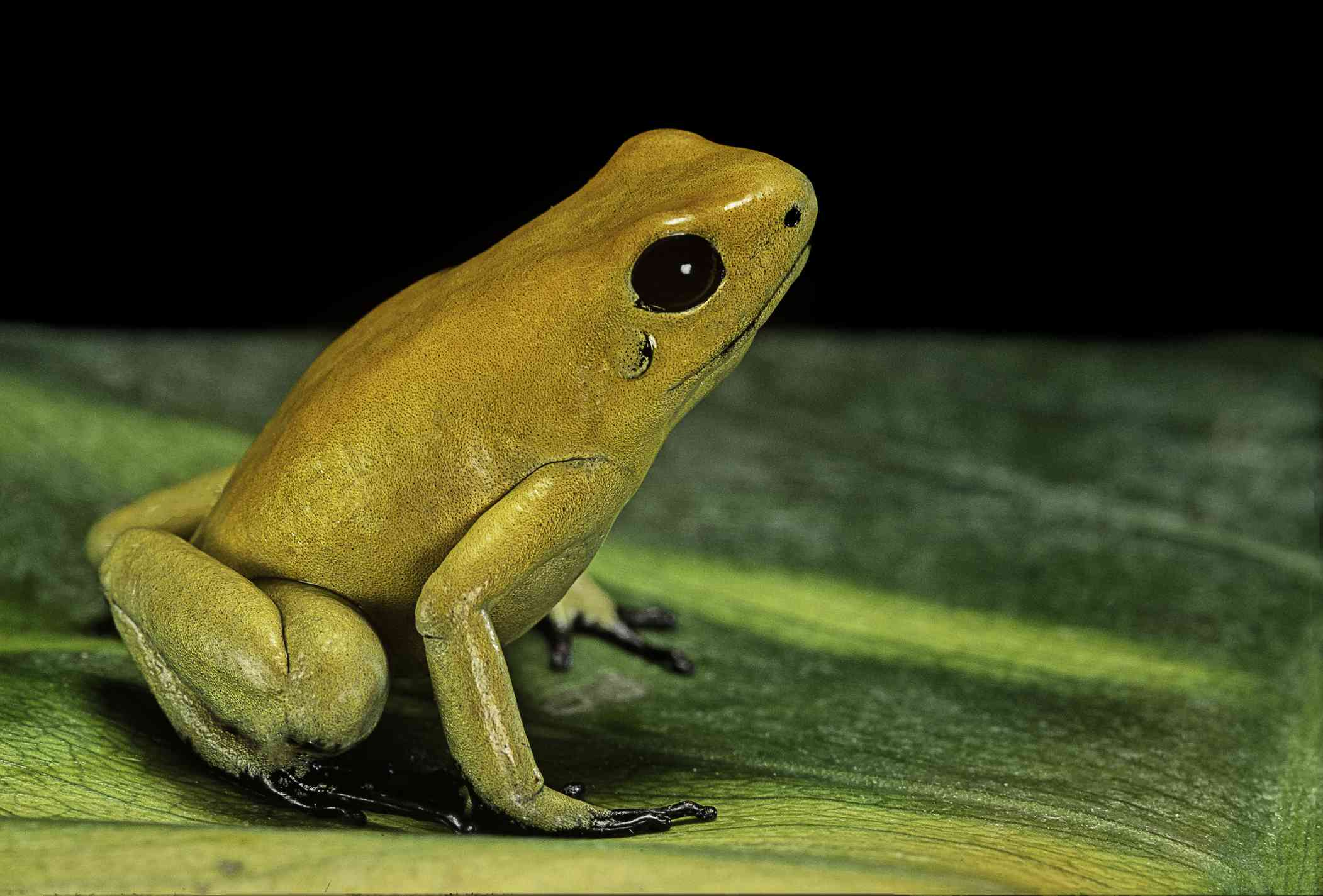 The golden poison frog (Phyllobates terribilis) is the most poisonous poison dart frog.