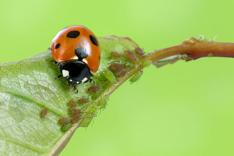 A ladybug eating aphids.