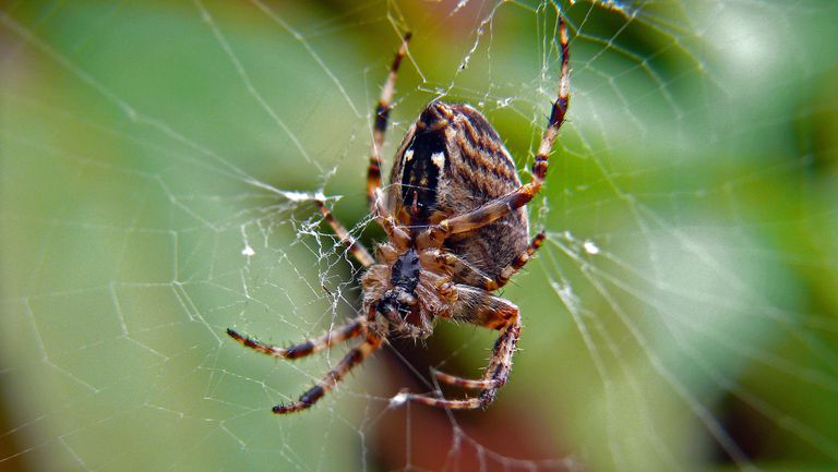 A garden spider in its web.