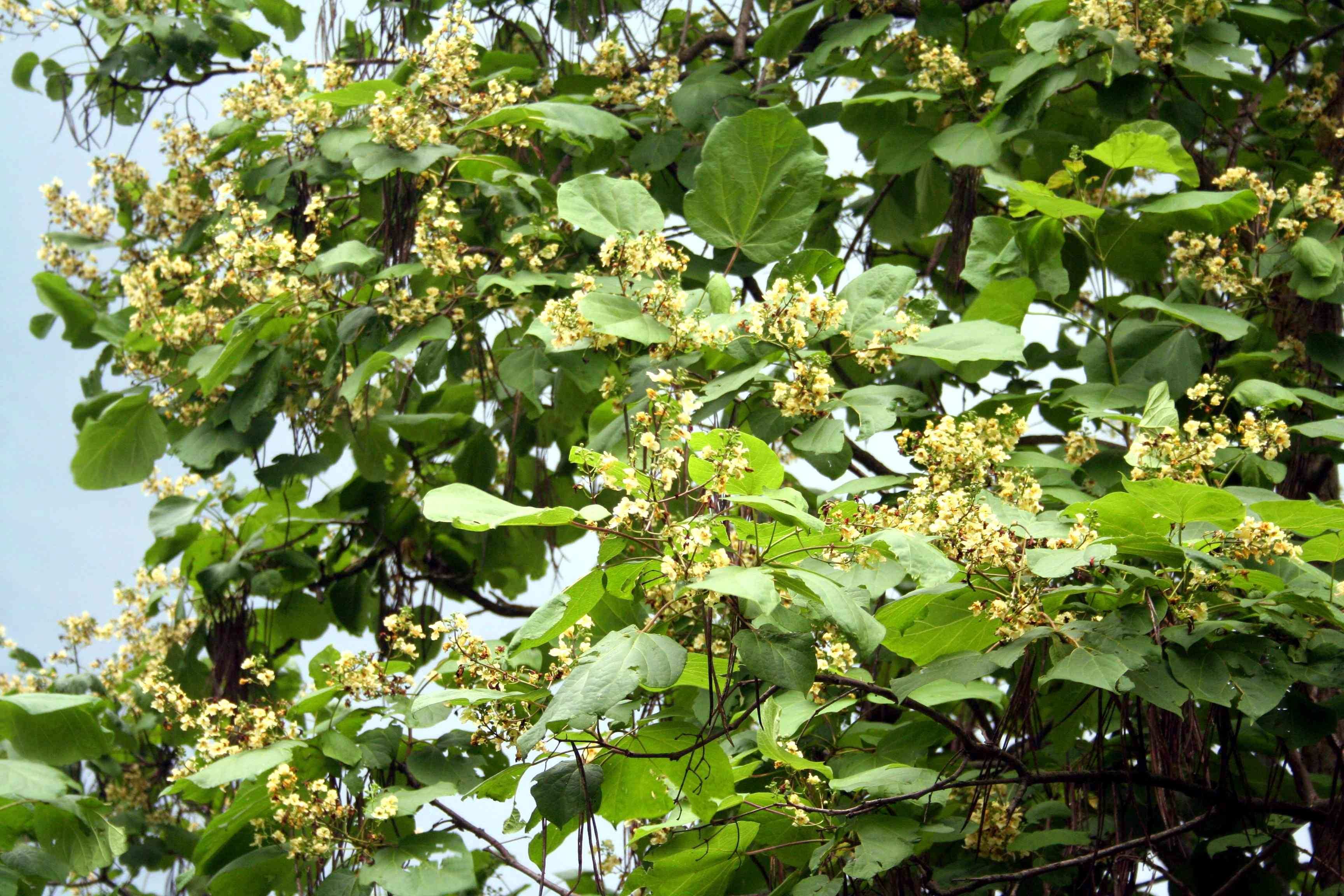 The Catalpa Tree And Its Caterpillars